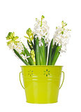 Beautiful white hyacinth flower in a green bucket, isolated on w