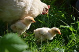 Broody hen with chicklings are feeding in the garden