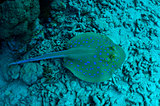 Coral reef. Blue spotted stingray