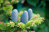 Fir-cones