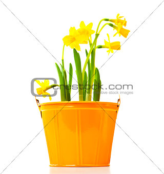 Pot of narcissus flower