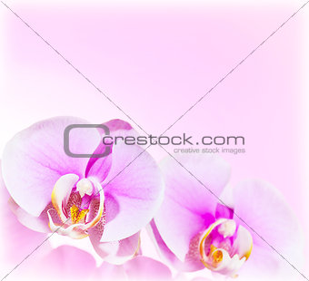 Pink Orchid flower border