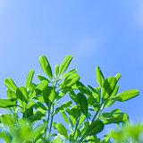 Fresh tree leaves on blue sky background