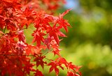 japanese maple background
