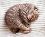 Newborn sleeping british baby kitten