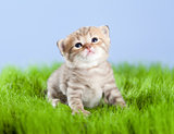 little tabby kitten Scottish looking upward on green grass