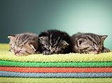 Three sleeping scottish baby kitten on stack of colorful towels