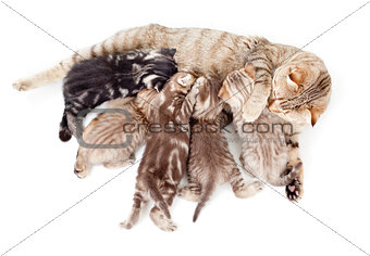 five kittens brood feeding by mother cat isolated