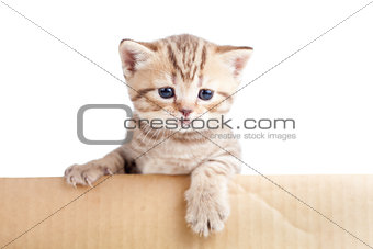 british baby cat in cardboard box