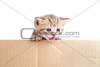Scottish british baby kitten in cardboard box
