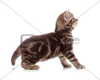 British kitten profile side view