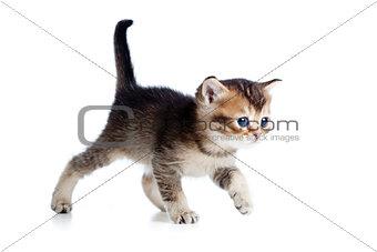 baby cat walking