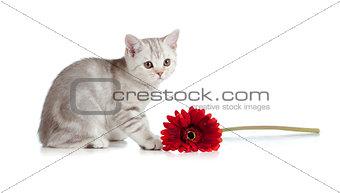 british kitten with African daisy flower