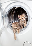striped british kittens inside laundry washer