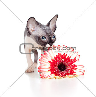 Canadian sphynx kitten with African daisy flower