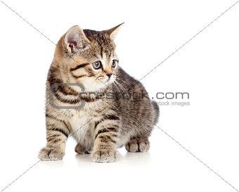 British kitten isolated
