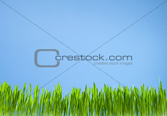 clean fresh grass growth on sky blue background
