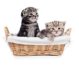 two Scottish little kitten sitting in basket isolated on white