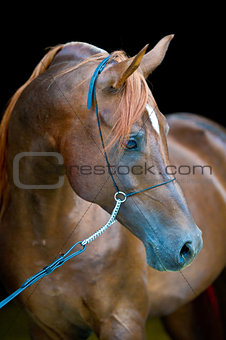 Bay arabian horse outdoors summers portrait in dark