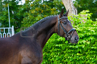 Portrait of a bay hannoverian German stallion