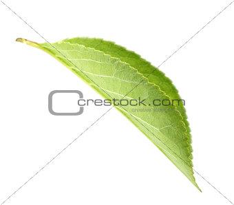 Green leaf of apple-tree