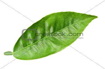 Green leaf of citrus-tree