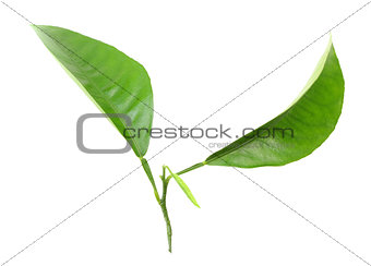 Two green leaf