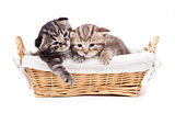 two Scottish little kitten lying in basket together
