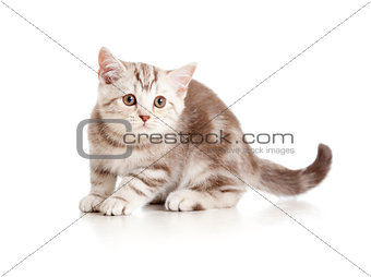 A playful kitten. British breed. Marmor.