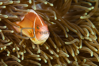 Pomacentridae,  Clown Fish or Anemonefish