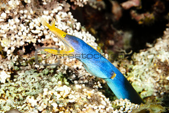 Blue ribbon eel - Rhinomuraena quaesita
