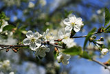 Flowering branches of trees with white flowers