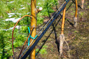 Apple trees with irrigation system
