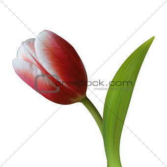 Close up of Tulip flower on white background.