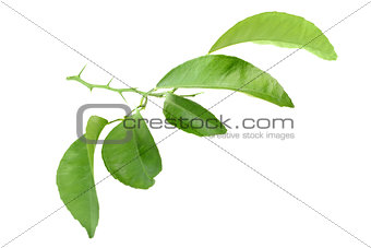 Citrus-tree branch with thorns