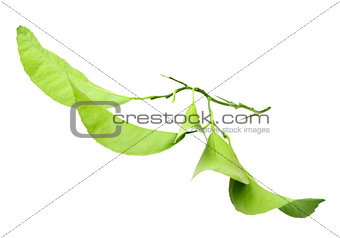 Green branch of citrus-tree