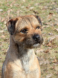 The typical Border Terrier 
