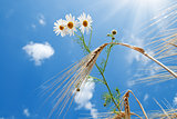 daisy with wheat under blue sky with sun