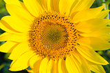 central part of sunflower