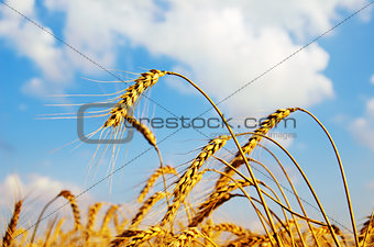 field with gold ears of wheat in sunset