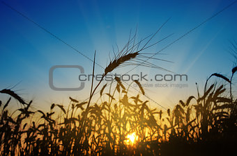 wheat ears against the blue sky with sunset