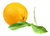 Orange and branch with green leaf