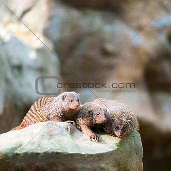 Three banded mongooses