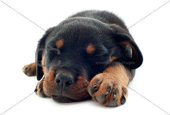 sleeping rottweiler