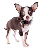 puppy chihuahua