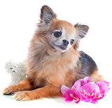 senior chihuahua