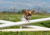 jumping puppy 