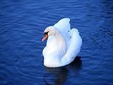 Beautiful white mute swan swimming in the lake