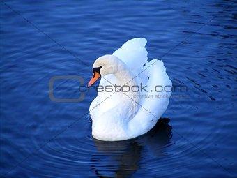 Beautiful white mute swan swimming in the lake
