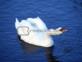 Beautiful white swan drinking water